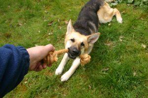Dog playing tug
